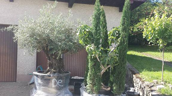 Mediterrane Pflanzen Baumpflege Matt Murg - Oberhof